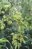 花草植物(XXVII):柿02 魚池鄉頭社村平和巷頭社水庫.JPG