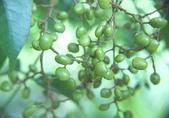 花草植物(XXVII):木蠟樹08 南投市鳳鳴里員南路.JPG