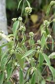 花草植物(XXVII):長節耳草06 魚池鄉頭社村平和巷頭社水庫.JPG