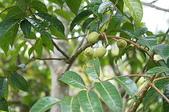 花草植物(XXVII):橄欖02 魚池鄉頭社村平和巷頭社水庫.JPG
