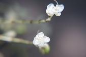 花草植物(XXVII):杜若05 竹山鎮山坪頂瑞龍吊橋附近.JPG