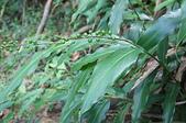 花草植物(XXVII):山月桃(小月桃)01 魚池鄉頭社村平和巷頭社水庫.JPG
