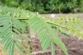 花草植物(XXVII):刺軸含羞木04 竹山鎮鯉南路台灣民間藥用植物園區.JPG