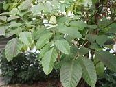 花草植物(III):火筒樹09 南投市復興路漳興國小.JPG