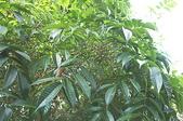 花草植物(XXVII):木蠟樹02 南投市鳳鳴里員南路.JPG