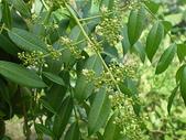 花草植物(XXVII):太平洋榲桲11 南投市平和里信義街巷內.JPG