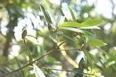 花草植物(XXVII):大頭茶03 南投市鳳鳴里員南路.JPG