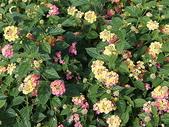 花草植物(III):Pink Caprice馬櫻丹01 鹿谷鄉小半天光復路文昌國小.JPG