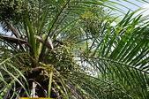 花草植物(XXVII):羅比親王椰子03 中寮鄉廣興村永平路廣英國小.JPG