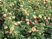 花草植物(III):Pink Caprice馬櫻丹03 鹿谷鄉小半天光復路文昌國小.JPG