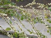 花草植物(III):密花白飯樹03 南投市復興路署立南投醫院.JPG