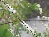 花草植物(III):密花白飯樹05 南投市復興路署立南投醫院.JPG