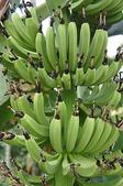 花草植物(XXVII):香蕉02 中寮鄉廣興村永平路廣英國小附近.JPG