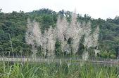 花草植物(XXVII):甜根子草02 魚池鄉頭社村平和巷頭社水庫.JPG