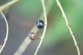 花草植物(XXVII):杜若03 竹山鎮山坪頂瑞龍吊橋附近.JPG