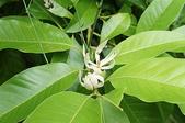 花草植物(XXVII):白玉蘭01 中寮鄉永樂路和興國小.JPG