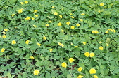 花草植物(XXVII):蔓花生04 中寮鄉廣興村永平路廣英國小.JPG