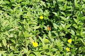 花草植物(XXVII):南美蟛蜞菊01 中寮鄉廣興村內湖仔生態公園.JPG
