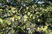 花草植物(XXVII):枳椇06 竹山鎮鯉南路台灣民間藥用植物園區.JPG