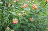 花草植物(XXVII):Pink Caprice馬櫻丹03 中寮鄉永樂路和興國小.JPG