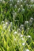 花草植物(XXVII):螫蟹花02 魚池鄉集里路頭社水庫附近.JPG