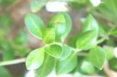 花草植物(XXVII):拎壁龍02 台東縣綠島鄉睡美人與哈巴狗島.JPG