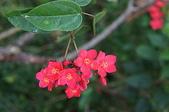 花草植物(XXVI):大花日日櫻06 中寮鄉龍眼林地區樟平溪畔.JPG