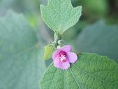 花草植物(II):野棉花01 南投市大埤街28巷大埤登山步道.JPG