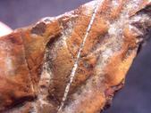 ◎植化琥珀:14樹林植物化石G1710.jpg