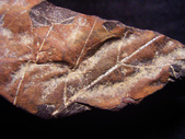 ◎植化琥珀:17樹林植物化石G1668.jpg