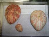 ◎現生標本:吉貝小埠_G3428