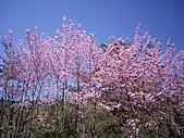 *227武陵櫻景~塞爆!!:IMGP2287b.jpg