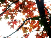 汐止拱北殿楓紅:PICT0009a.jpg