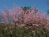*227武陵櫻景~塞爆!!:調整大小 PICT0003a.jpg