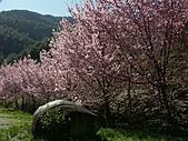 *227武陵櫻景~塞爆!!:調整大小 PICT0037a.jpg