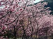 *227武陵櫻景~塞爆!!:調整大小 PICT0046a.jpg
