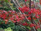 汐止拱北殿楓紅:PICT0035a.jpg