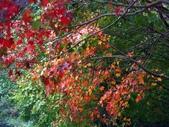 汐止拱北殿楓紅:PICT0038a.jpg