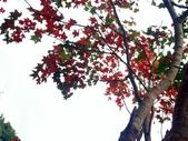 汐止拱北殿楓紅:PICT0039b.jpg