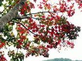 汐止拱北殿楓紅:PICT0042a.jpg