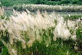 荖濃溪畔的芒花:017