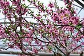 春之饗宴~2013梅峰農場~:DSC_8423.jpg