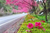 2014牛鬥櫻花:DSC_3833.JPG