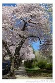 2013 Cherry Blossom(Wooster Square Park):P1000485.JPG