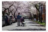 2013 Cherry Blossom(Wooster Square Park):P1000496.JPG