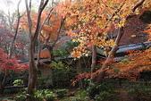 日本楓紅:2009年11月30日衹王寺 (13)