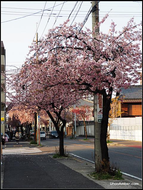 P3300018.JPG - 名古屋地鐵櫻通線高岳站2號出口的櫻花