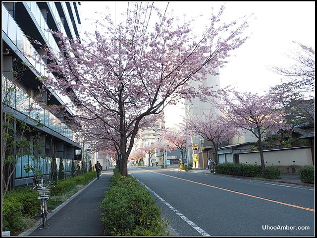 P3300040.JPG - 名古屋地鐵櫻通線高岳站2號出口的櫻花