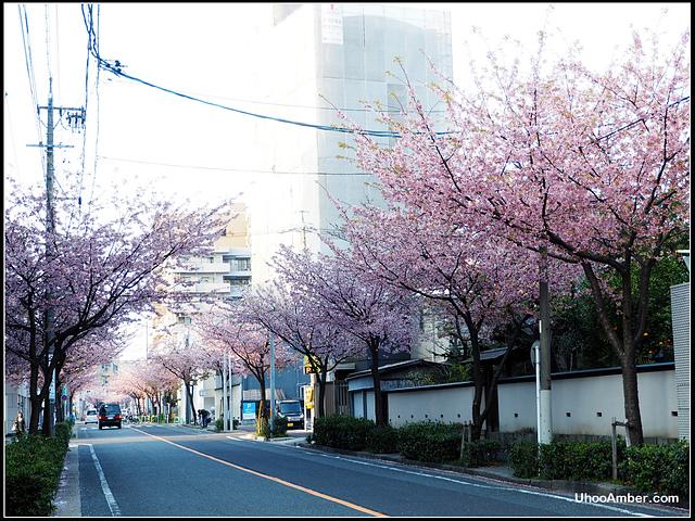 P3300035.JPG - 名古屋地鐵櫻通線高岳站2號出口的櫻花