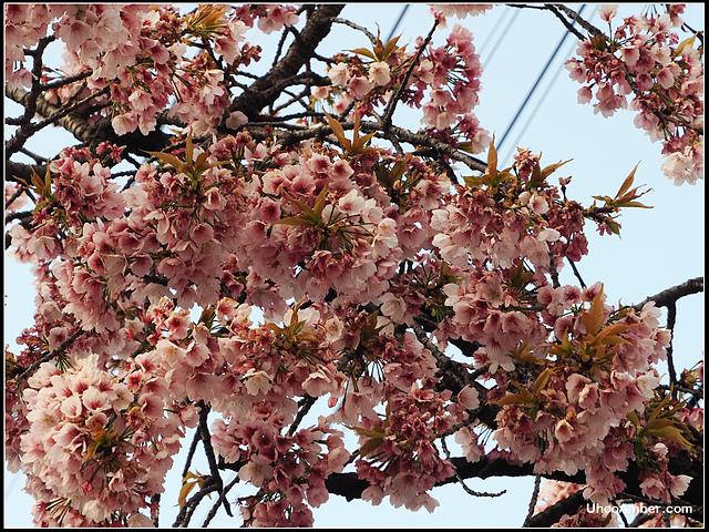 P3300013.JPG - 名古屋地鐵櫻通線高岳站2號出口的櫻花